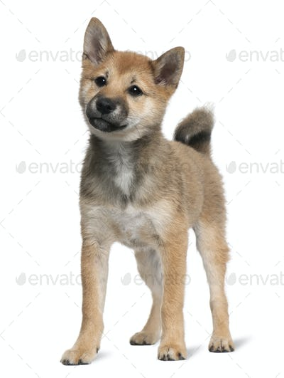 Shiba Inu puppy, 5 months old, standing in front of white background