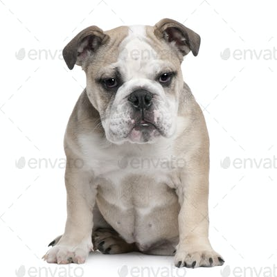 English Bulldog puppy, 5 months old, sitting in front of white background
