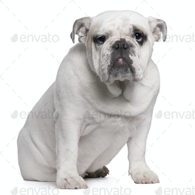 English Bulldog puppy, 7 months old, sitting in front of white background