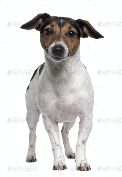 Jack Russell Terrier, 2 years old, standing in front of white background