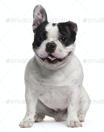 French Bulldog, 13 months old, with a cut ear sitting in front of white background