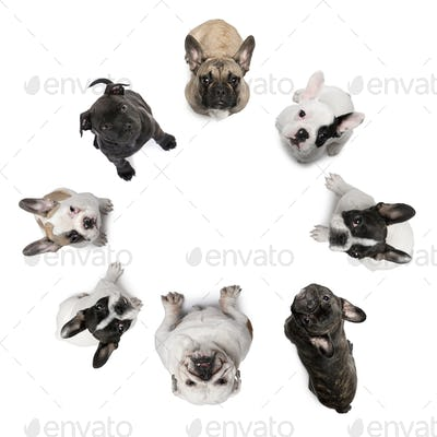 High angle view of Staffordshire Bull Terrier puppies, 2 months old, in front of white background