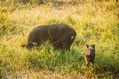 Big And Small Household Black Pigs Looking For Food In Fresh Green Grass In Farm. Pig Farming Is