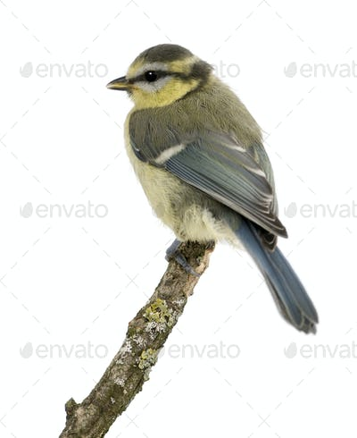 Young Blue Tit, Cyanistes caeruleus, 45 days old, perched in tree in front of white background