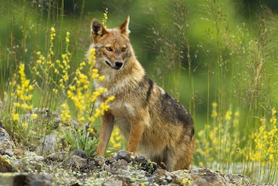 Shy golden jackal looking away on a hot summer day