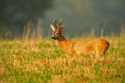 Dominant roe deer buck observing its territory with grass on antlers in summer