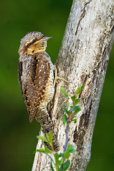 Inconspicuous eurasian wryneck blending with the tree trunk while resting on it