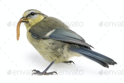 Young Blue Tit, Cyanistes caeruleus, eating worm in front of white background