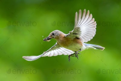 Eastern Bluebird Flying with Insect