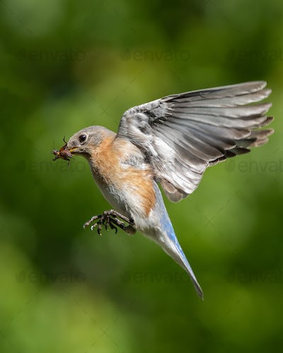 Eastern Bluebird Eating Insect