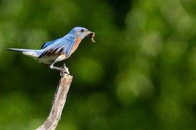 Eastern Bluebird Taking Flight