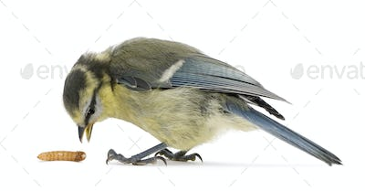 Young Blue Tit, Cyanistes caeruleus, with worm in front of white background