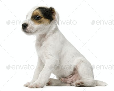 Parson Russell Terrier puppy sitting in front of white background