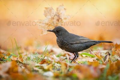 Vital common blackbird female throwing away orange leaf in autumn park