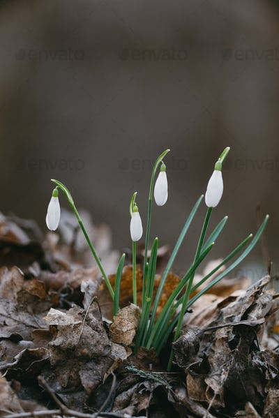 Snowdrop flower