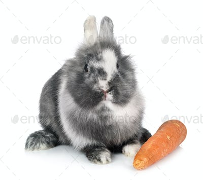 dwarf rabbit in studio