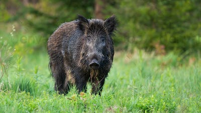 Majestic wild boar, sus scrofa, with wet fur looking defenceless on the clearing