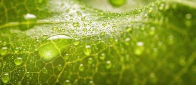 Banner of Rain drops on a green leaf macro