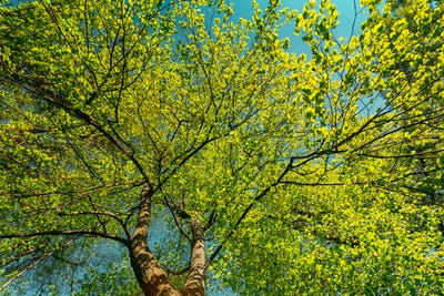 Spring Canopy Of Tree. Deciduous Forest, Summer Nature At Sunny Day. Upper Branches Of Tree With