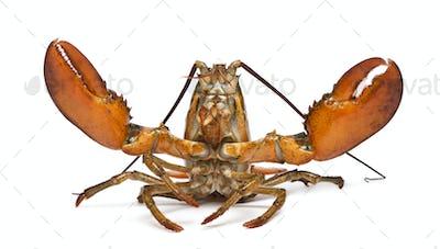 American lobster, Homarus americanus, in front of white background