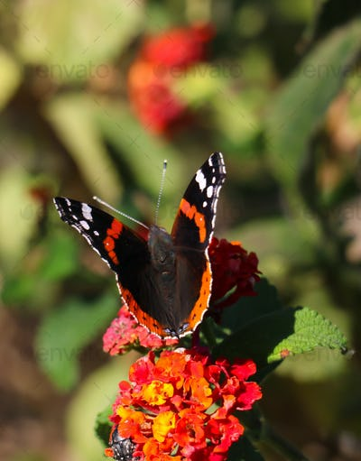 Butterfly red admiral with black wings and white spots pollinating red and yellow flower.