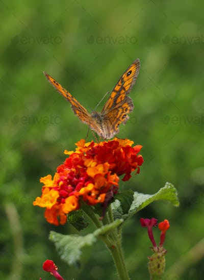 Butterfly with orange color wings pollinating red and yellow flower.
