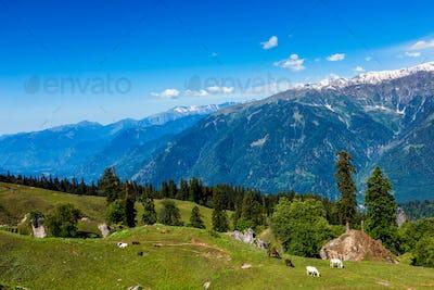 Horses in mountains. Himachal Pradesh, India