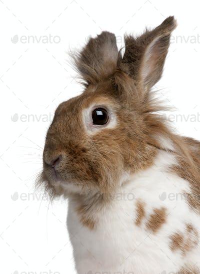 Close-up of a European Rabbit, Oryctolagus cuniculus, in front of white background