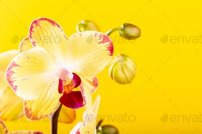 Orchid flower yellow bloom