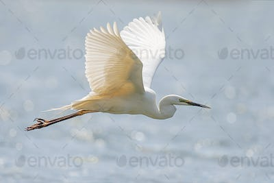 White heron, Great Egret, fly on the lake background. Water bird in the nature habitat