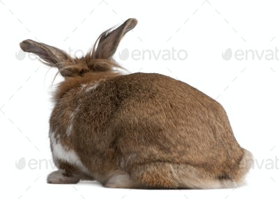 Rear view of a European Rabbit, Oryctolagus cuniculus, sitting in front of white background