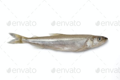 Single fresh European smelt fish