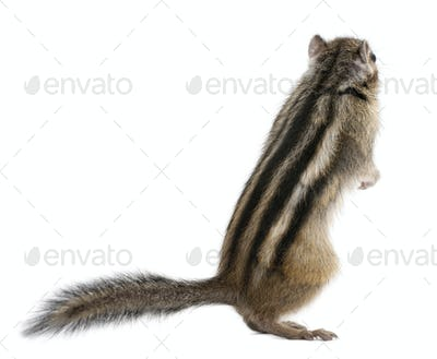 Siberian chipmunk, Euamias sibiricus, standing in front of white background