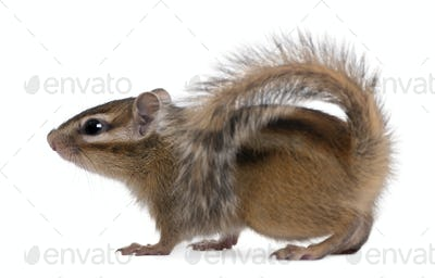 Siberian chipmunk, Euamias sibiricus, walking in front of white background