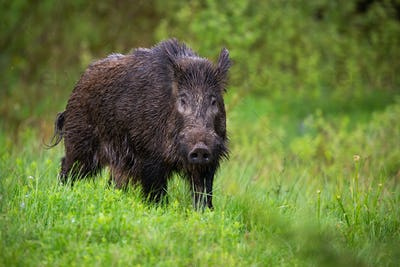 Front view of adult wild boar,sus scrofa, walking through the green countryside