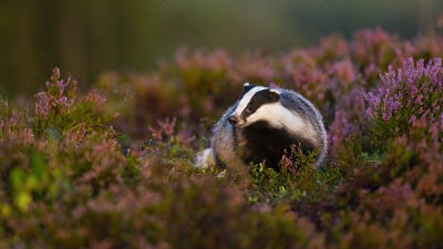 Fluffy european badger approaching from front low angle view in heathland