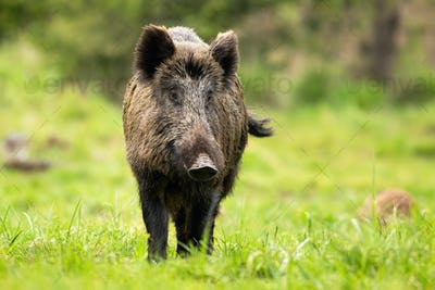 Solitary wild boar wandering on the forest clearing and shaking its tail