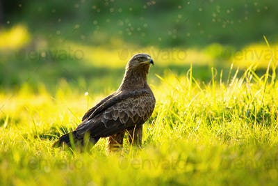 Lesser spotted eagle sitting on the ground in summer at sunset