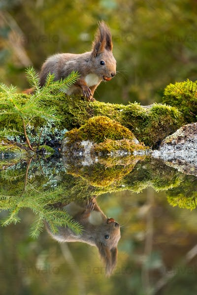 Cute red squirrel feeding with nuts on moss covered rocks near water