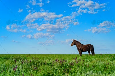 Wild stallion grazing on summer meadow