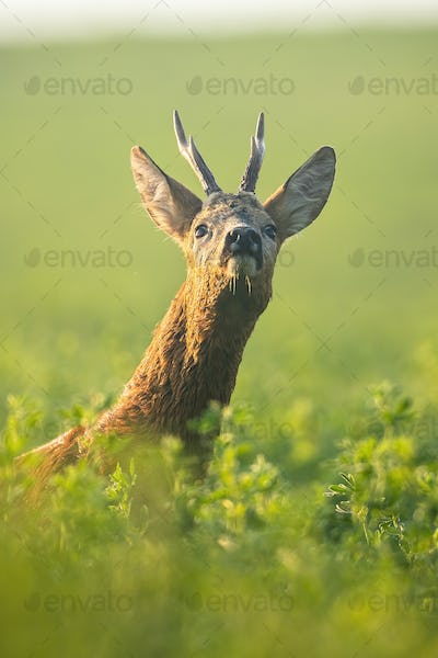 Roe deer buck sniffing with nose up on green clover field in the morning