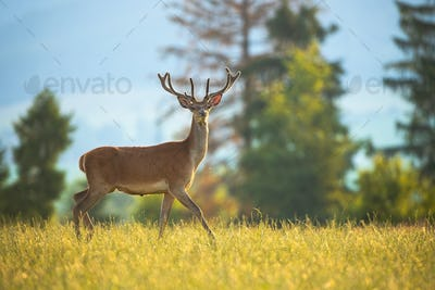 Curious red deer walking on a meadow with green grass with head holding high up