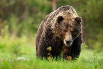 Threatening brown bear male approaching from front view on meadow in High Tatras