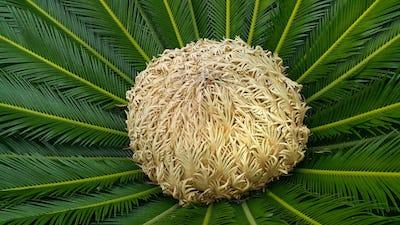 Female cone and foliage of cycas revoluta cycadaceae sago palm