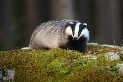 Fluffy european badger facing camera on mossy rock in summer forest