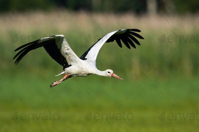 White stork flying above meadow with wings open in summer nature