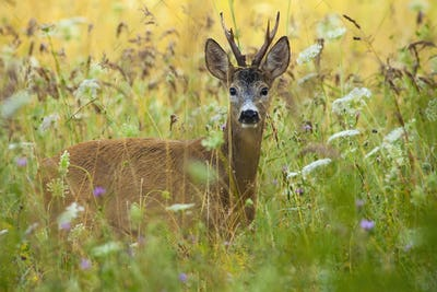 Alert roe deer back standing in tall grass with wildflowers in summer