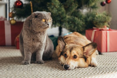 Scottish Fold Cat and Welsh Corgi Dog Under Christmas Tree