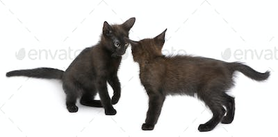 Two black kittens playing together in front of white background