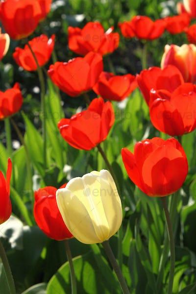 Beautiful bright tulips